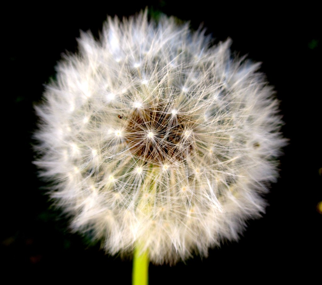 Dandelion Psychotherapy, PLLC